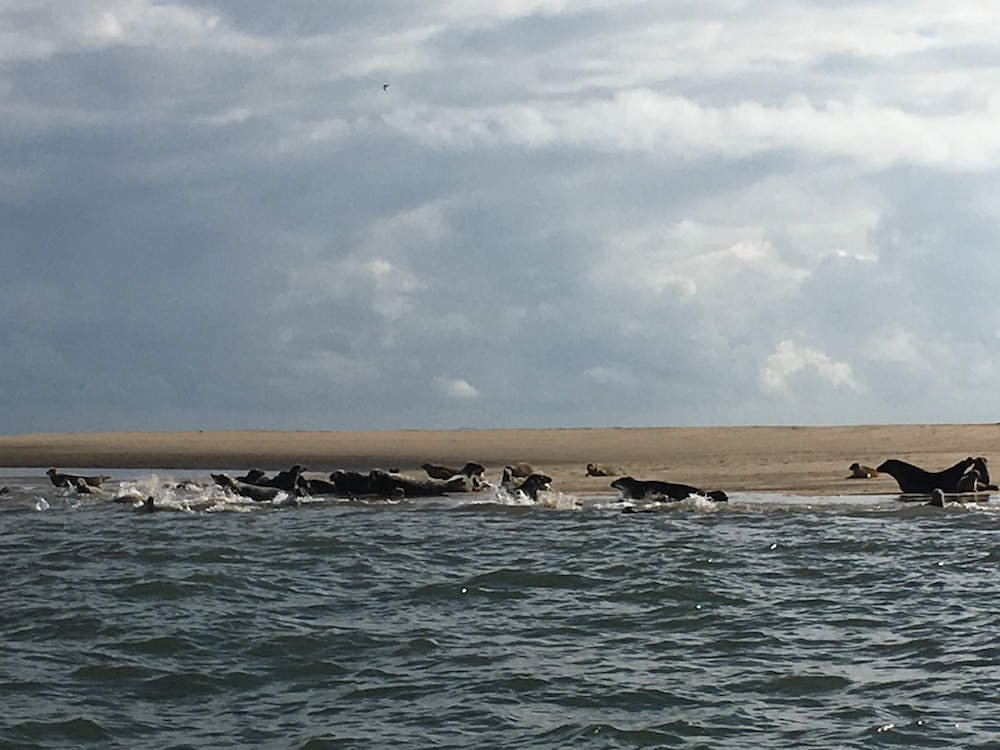 Seals at Scroby
