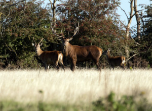 A stag safari with a difference in RSPB Minsmere